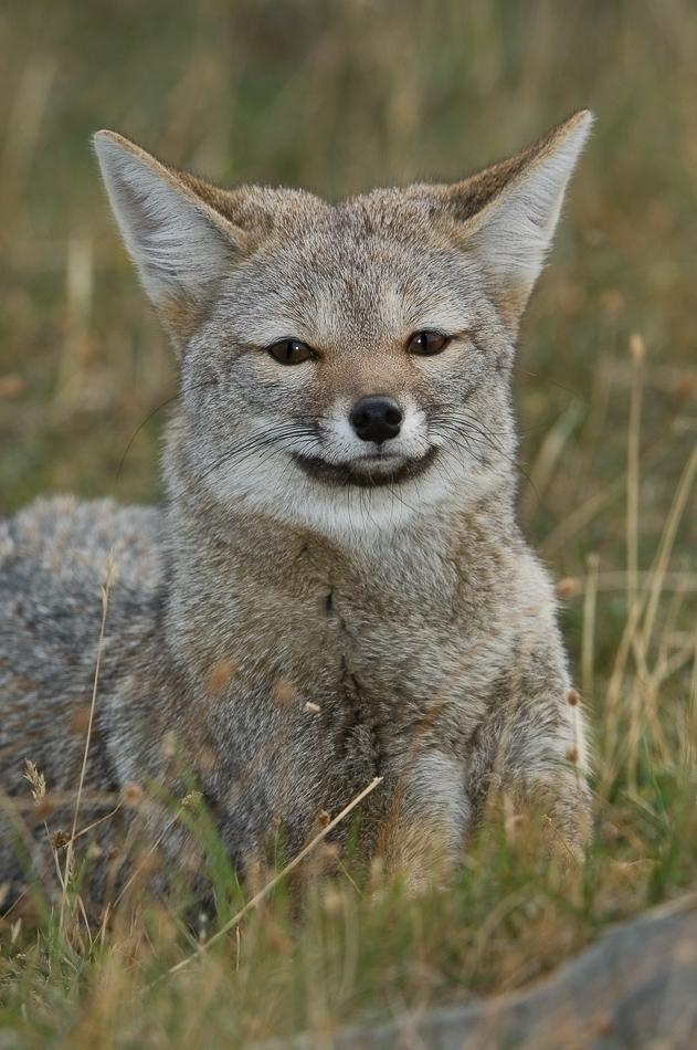 Grey Fox interesting daemon (fa - ccruzme   ello