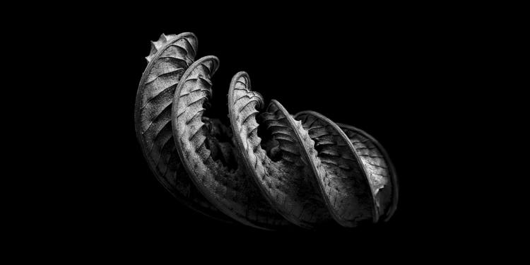 monstera deliciosa. dried hawai - salz | ello