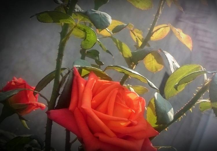 India, Rose, Orange - atulbw | ello