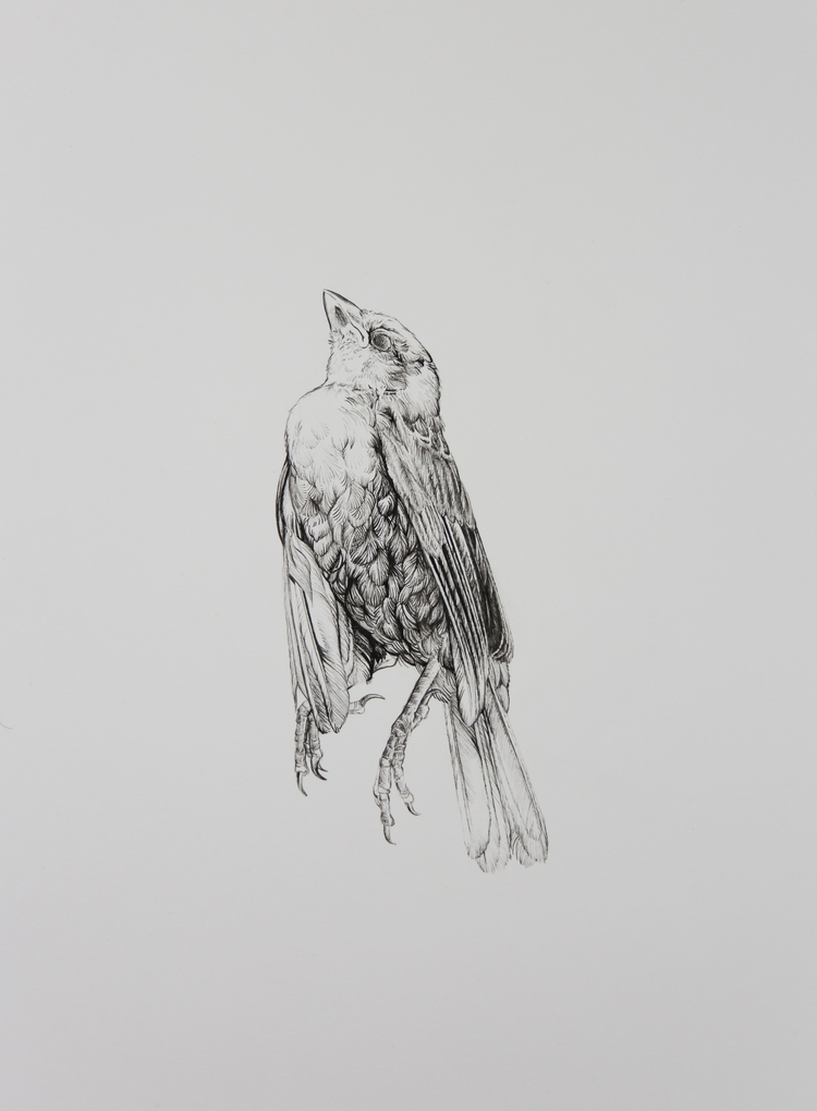Bird Study - Sparrow - drawing, lifedrawing - robertmartinart | ello