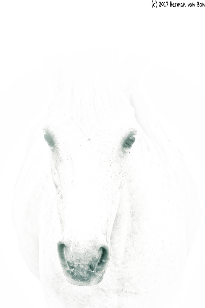 Portrait white horse - hermanvanbon | ello
