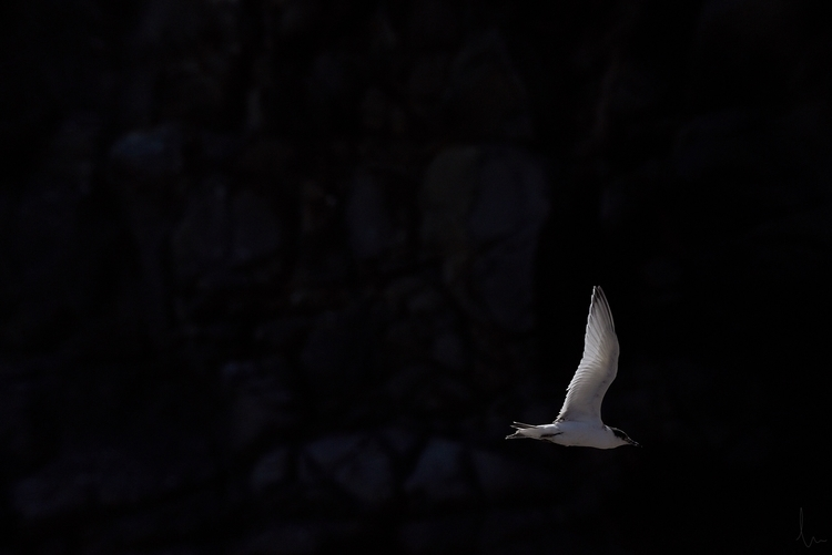 White-fronted tern - Boulder Ba - madebydusk | ello