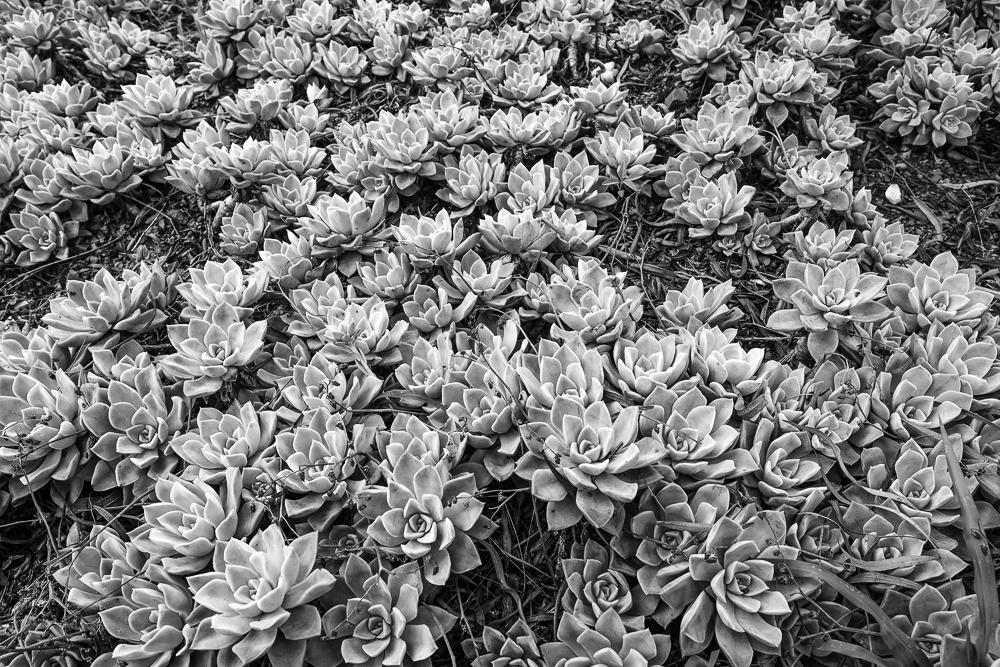 Flower explosion desert; flower - lecuona | ello