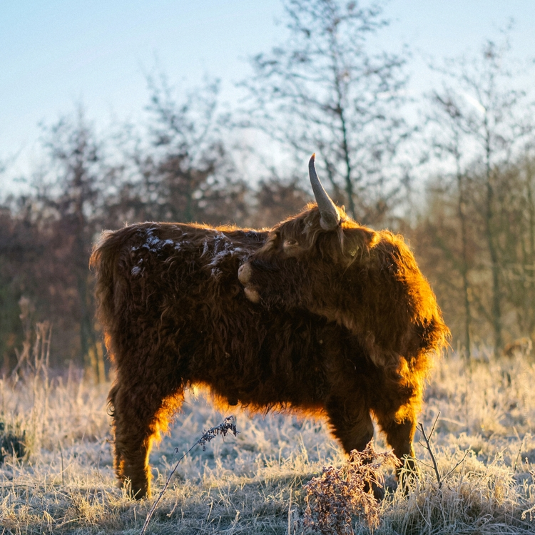 Folded - animals, color, cow, highlandcow - klaasphoto | ello
