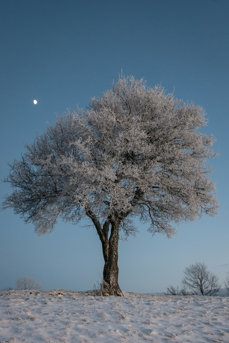 Frozen Tree - tree, winter, frozen - oliviermiche | ello
