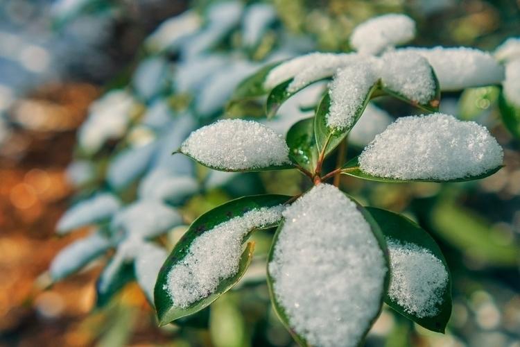 Snow Rhododendron - codyadams | ello