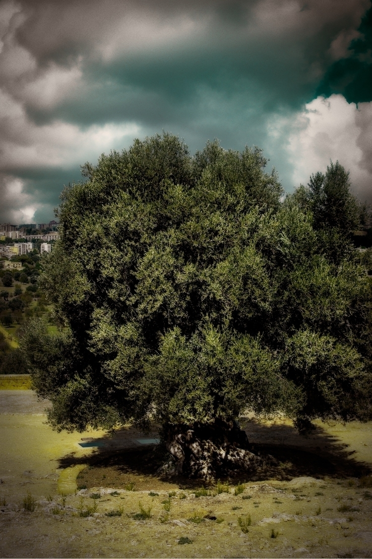 Roiling Clouds Olive Tree Agrig - carusophoto | ello