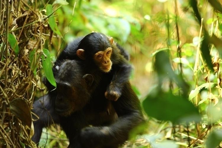 Chimpanzee tracking Tanzania. l - justphotosofmine | ello