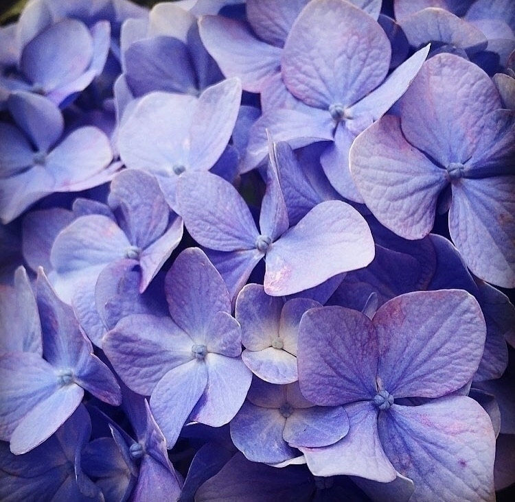 flowers, purple, hydrangea - glasseyebob | ello