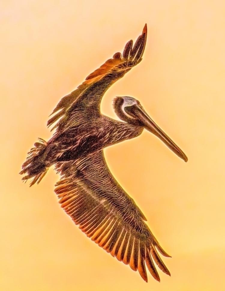 Dancing brown Pelican Floridian - pycphoto | ello