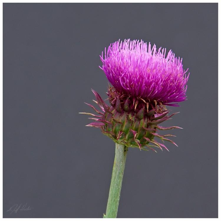 Thistle growing bloom photograp - kudzupatch | ello