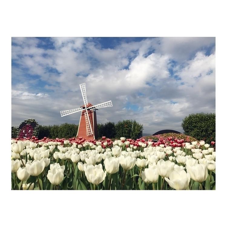 tulip鬱金香:tulip: . 希望能有白色般的柔軟 到哪 - yu5207 | ello