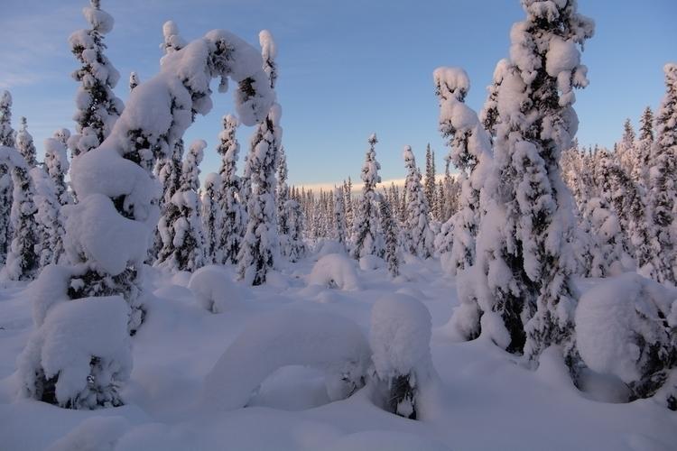 snow-covered boreal forest Fair - lwpetersen | ello