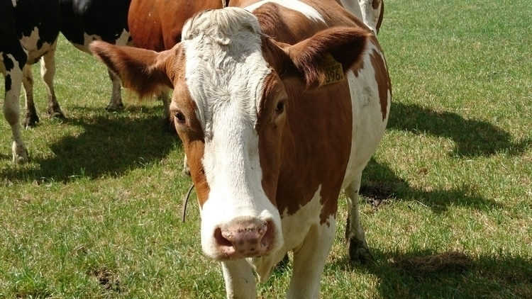 cow, moo - berkemef | ello