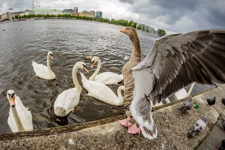 duck, birds, wings, hamburg, swans - gkowallek | ello