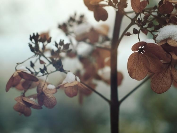 hydrangea, flowers, faded, snow - andreigrigorev | ello