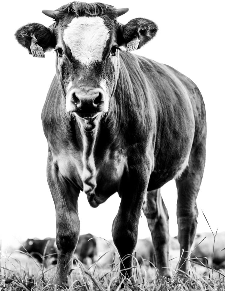 Calf highkey - calf, cow, cows, animals - hannerius   ello