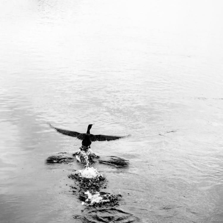Flèche Noire le cormoran, cormo - pixotrope | ello