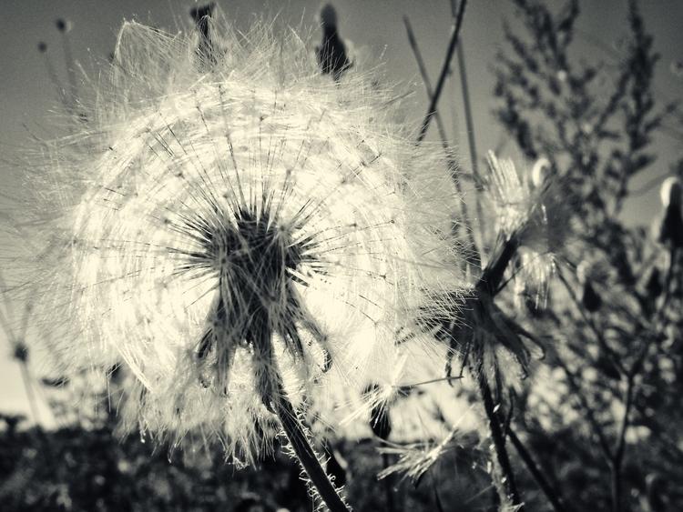 dandelion childhood - ello, blackandwhite - panioan | ello