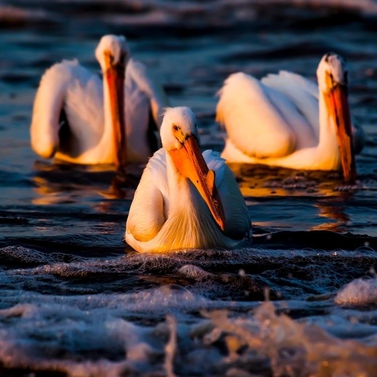 trio pelicans shrouded thick su - karljohnston | ello