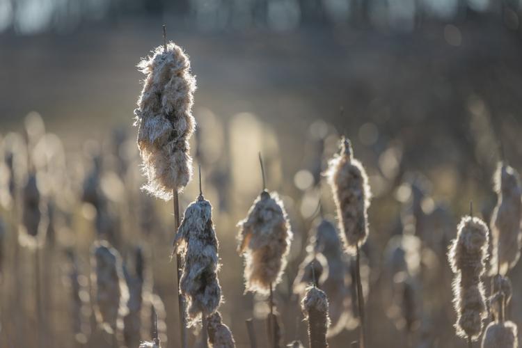 Husk Warmer local cattails wint - jeffmoreau | ello