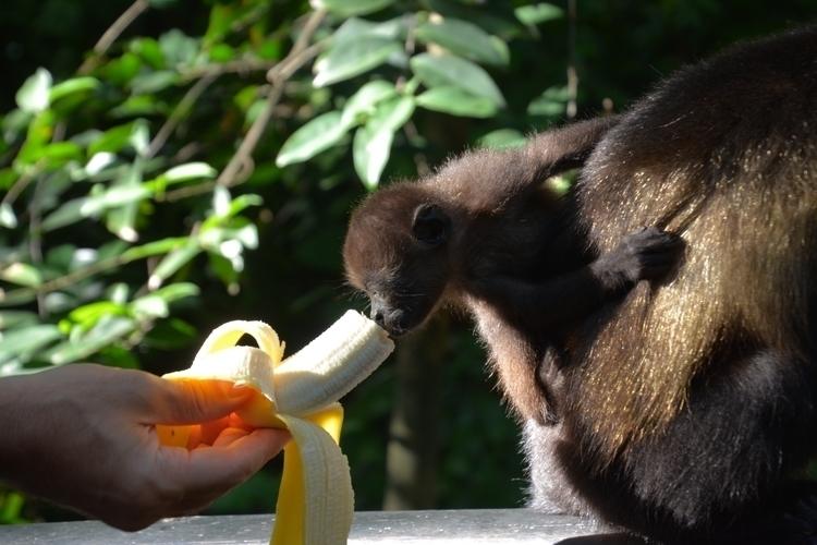 nature, monkey, animal - koenraadeneman   ello