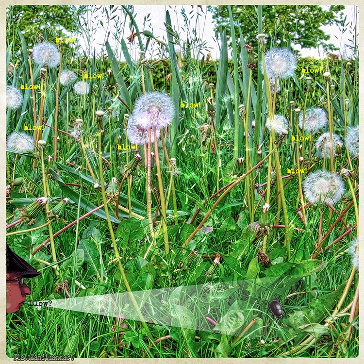 blow dandelions - plattlandtmann | ello