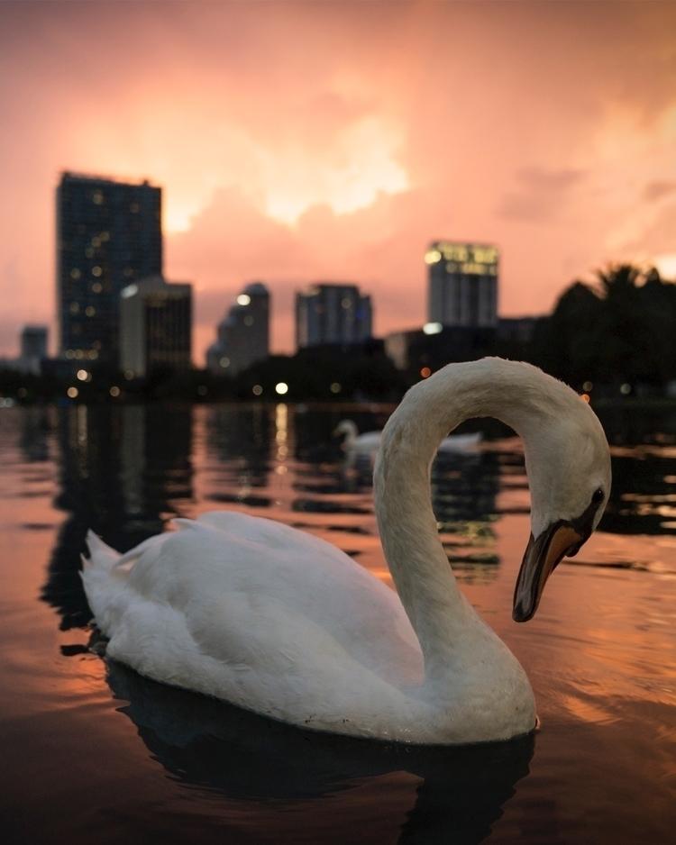 Orlando. Love swans Lake Eola - sonyalpha - aroundq | ello