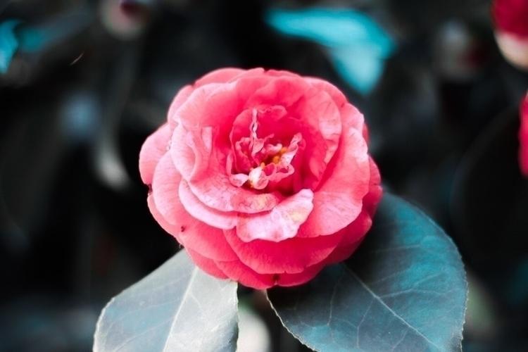 flower, nature, photography, rose - melinavilavi   ello