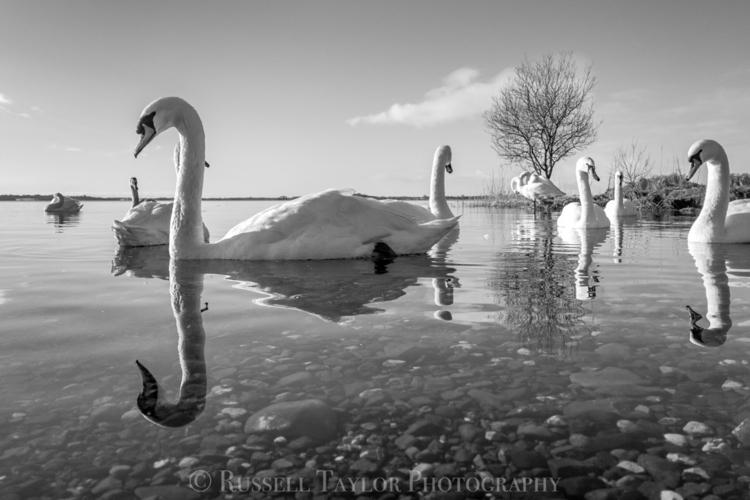 Swans Lough Ennel , Ireland - ello - russelltaylorphotography | ello