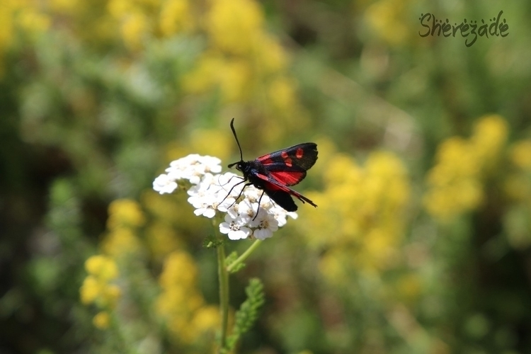 butterfly, red, blu, summer, white - shereative | ello