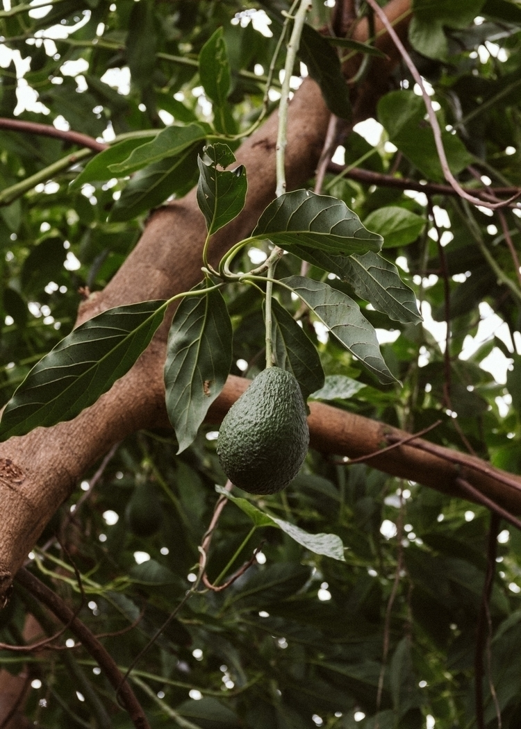 Spent January year avocado farm - broads | ello