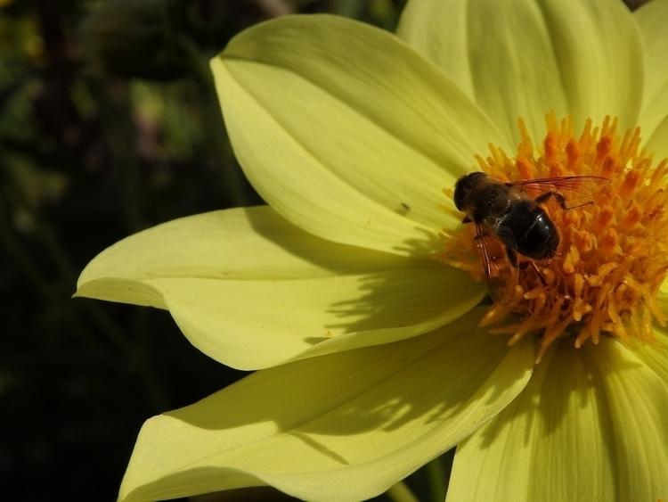 flower, yellow, bee, animal - bannanou | ello