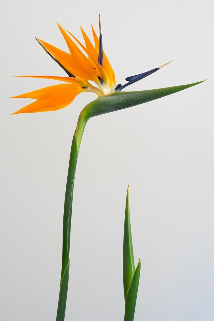 Strelitzia fully blossoming - erik0111   ello