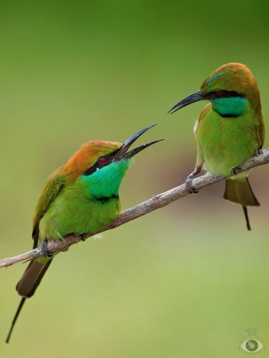 Green bee-eaters Sri Lanka, Feb - pentaxke | ello