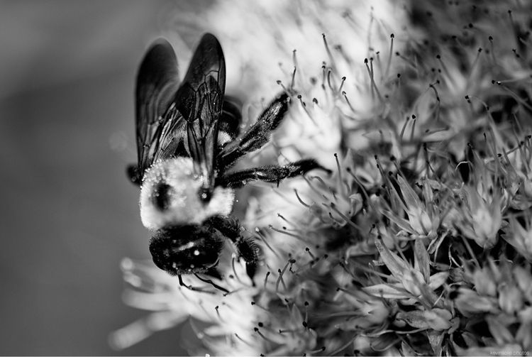 bee - photography, monochrome, art - kevinsolie   ello
