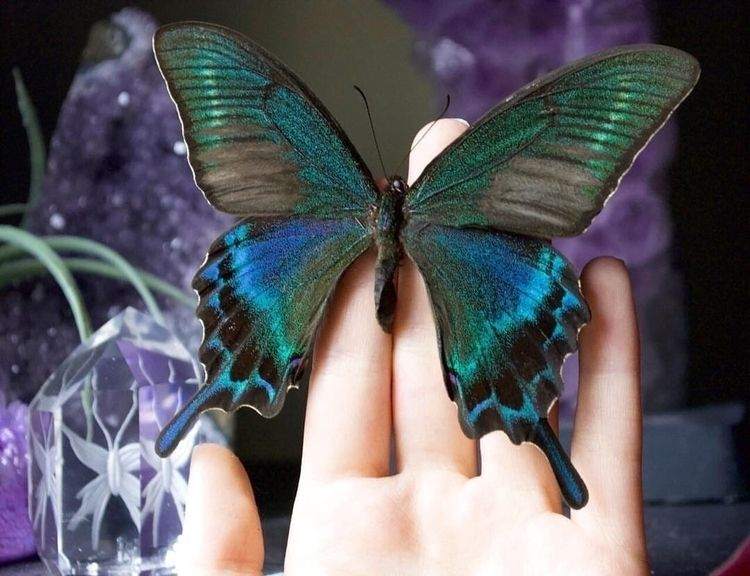 Alpine Black Swallowtails congr - thebutterflybabe | ello