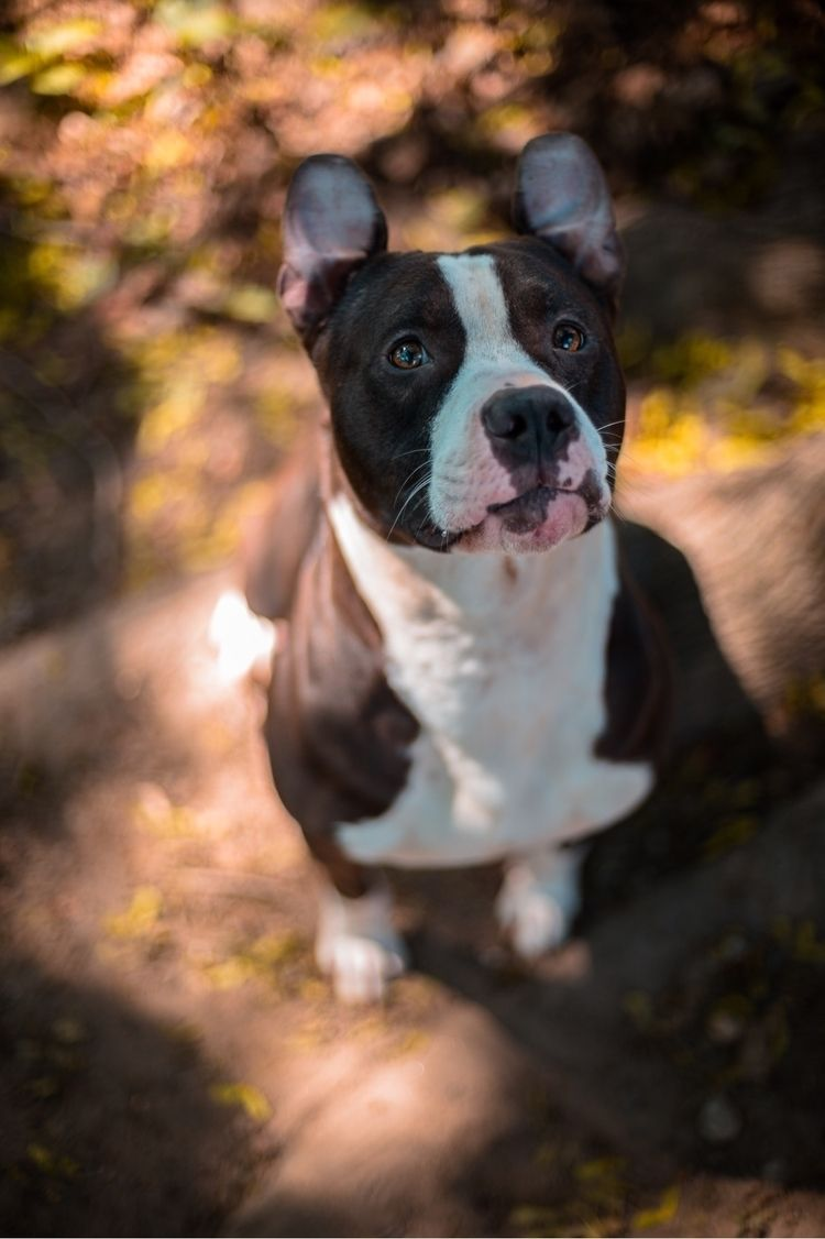 dog, portraits, pitbull, canon6d - cee_visions93 | ello