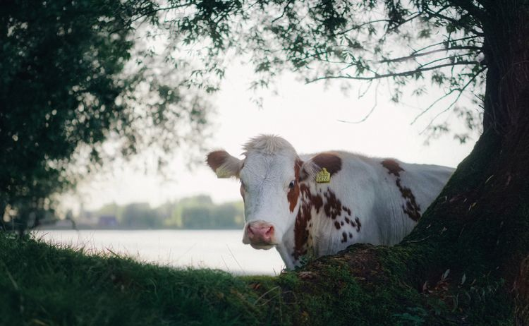 river - animals, color, cow, nature - klaasphoto | ello