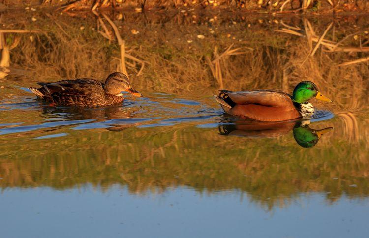ente, duck, sunshine, family - mathiasdueber | ello