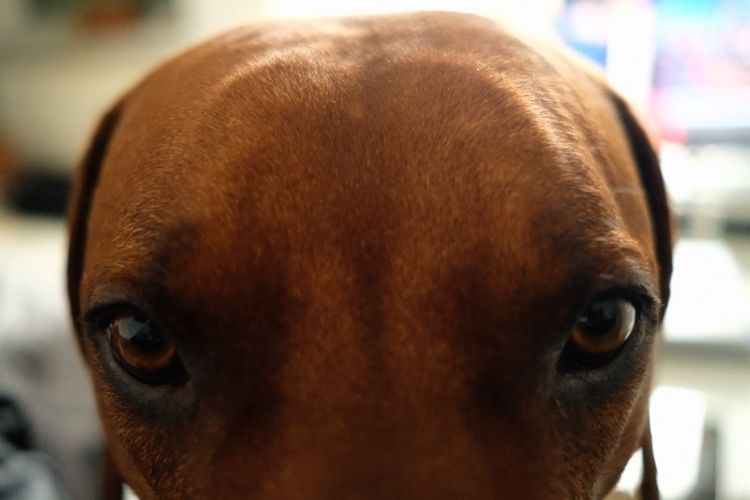 eyes, daddy - dog, pet, rhodesianridgeback - royfocke | ello
