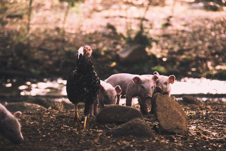 Pig Family - pigs, chicken, rural - sergiocorzo | ello