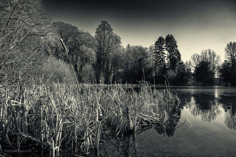 Wroxton abbey lake - bullrush, reflection - toni_ertl | ello