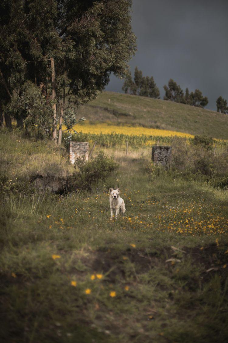 Cayambe, Ecuador. Wild dog - vintage - mattarteaga | ello