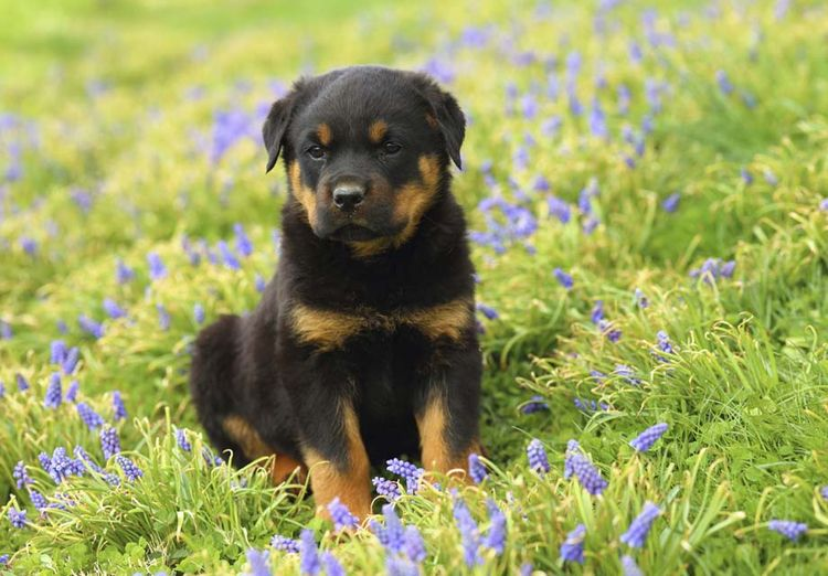 Rottweilers develop health prob - kingrottweilers | ello