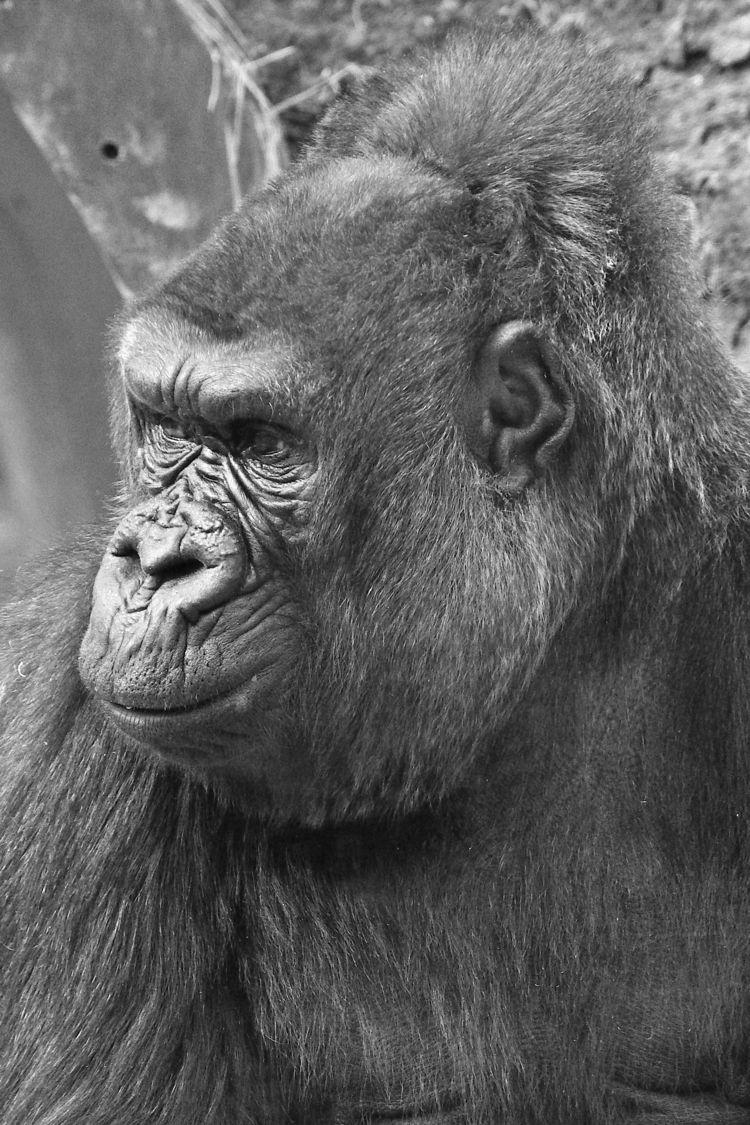 Gorilla - gorilla, gorillas, ape - chetkresiak | ello