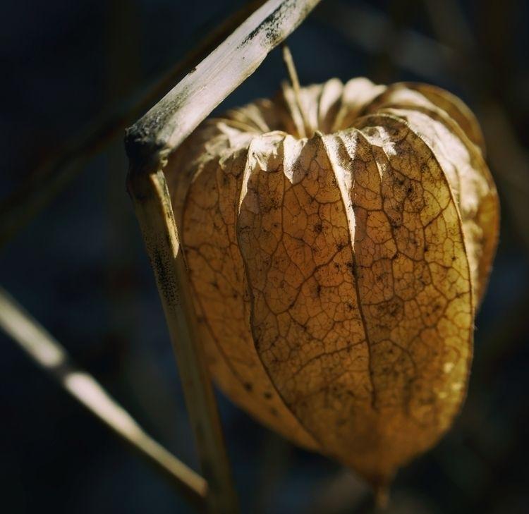 photography, plant, physalis - marcushammerschmitt | ello