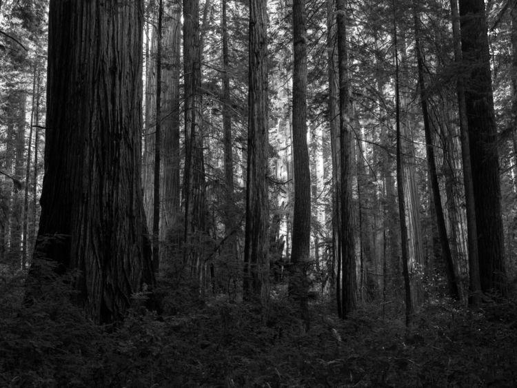dense forest Jedediah Smith Sta - aaronvizzini | ello