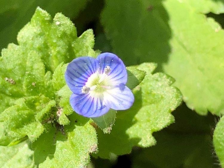 Veronica persica garden. 9th Ma - tosiro | ello