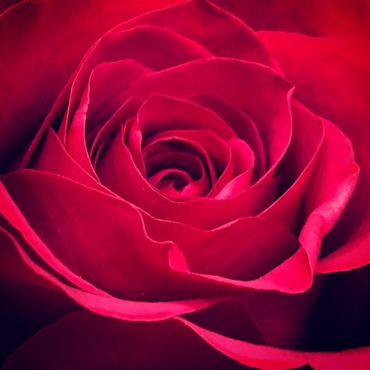 redrose, macro, flowers, nature - spurdy33 | ello